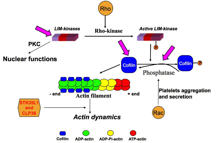 the function of actin The cytoskeleton provides structure and shape to cells in this lesson, learn about  actin filaments, a kind of cytoskeletal filament that is.